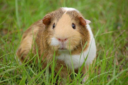 Guinea Pig, Cavy, Pet, Guinea, Rodent