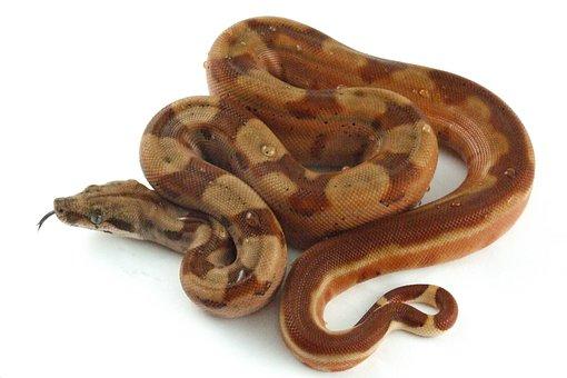 Reptile, Snake, Hypo, Boa, Constrictor