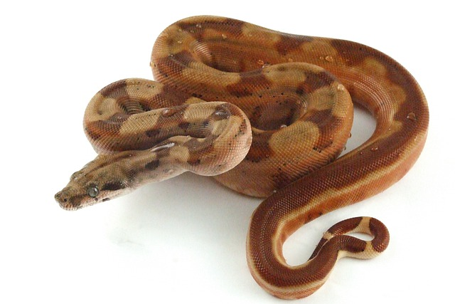 Free Photo Reptile Snake Hypo Boa Free Image On