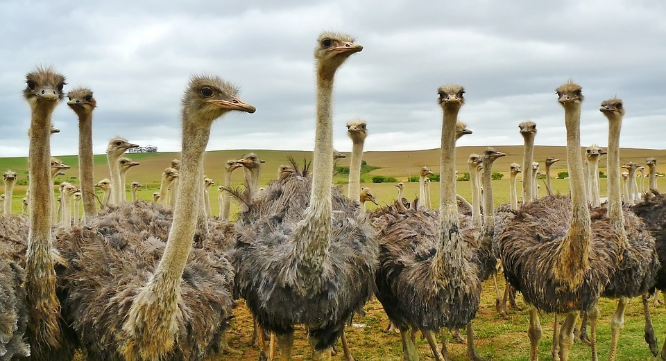 Bird, Animal, Nature, Strauss, Bouquet, Ostrich Farm
