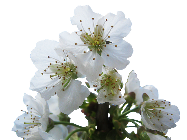 Free Photo Cherry Blossoms Hell White Free Image On