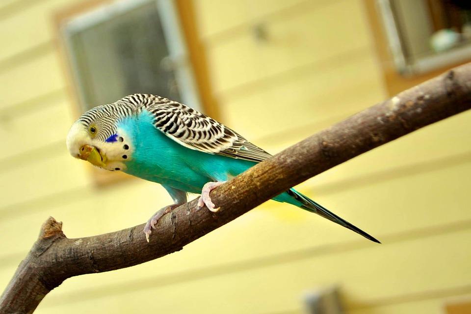 Parkiet, Canarische Vogel, Canarische, Blauw