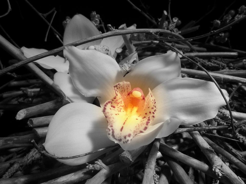 Orchidee Blume Kostenloses Foto Auf Pixabay