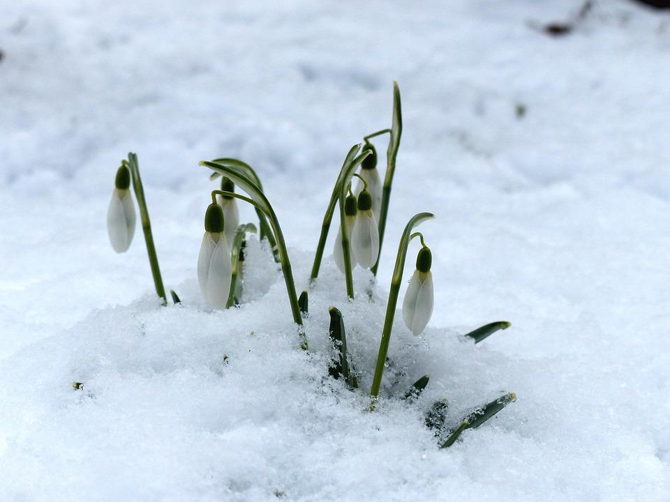 Foto gratis campanilla blanca flor planta imagen for Planta ornamental blanca nieves
