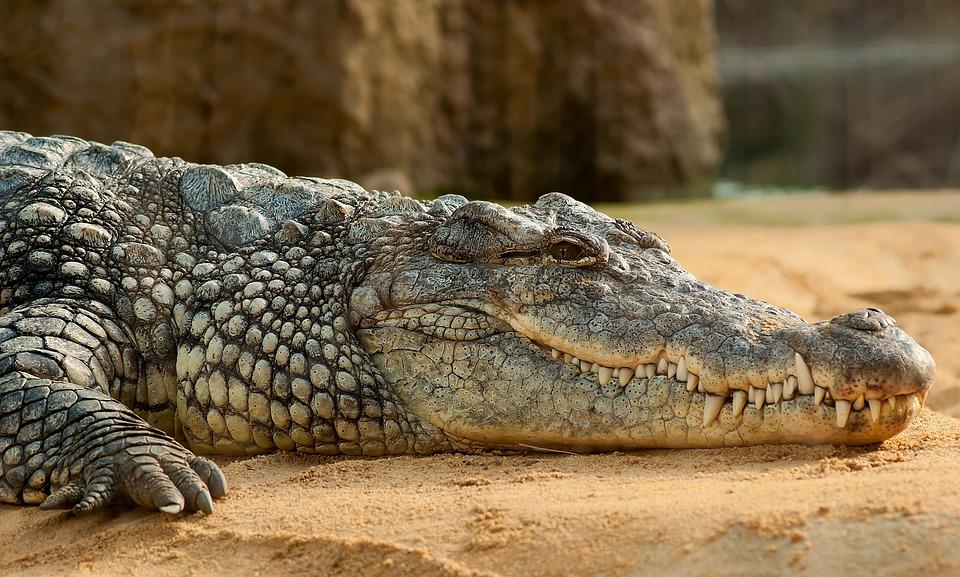 Buaya Nil, Reptil Raksasa Kedua yang Kehidupannya Dekat dengan Pemukiman Manusia