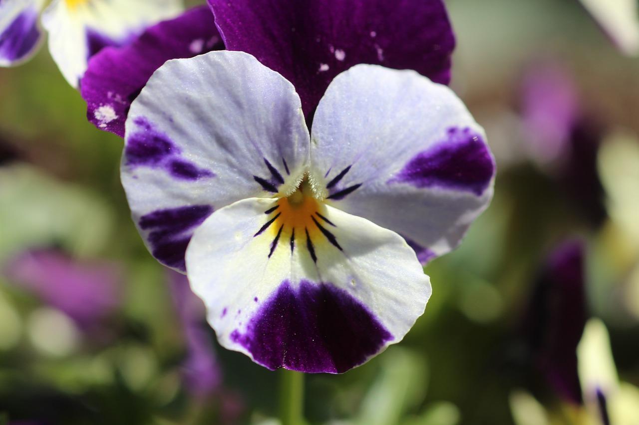 цветы анютины глазки с картинками вас