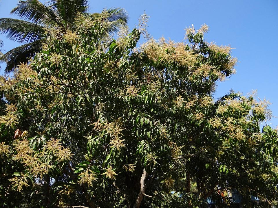 mango tree flower free photo mango tree plant tree palm tree free image on