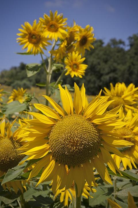 Gambar Pemandangan Bunga Matahari
