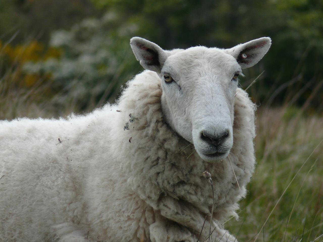 Открытка овечка фото