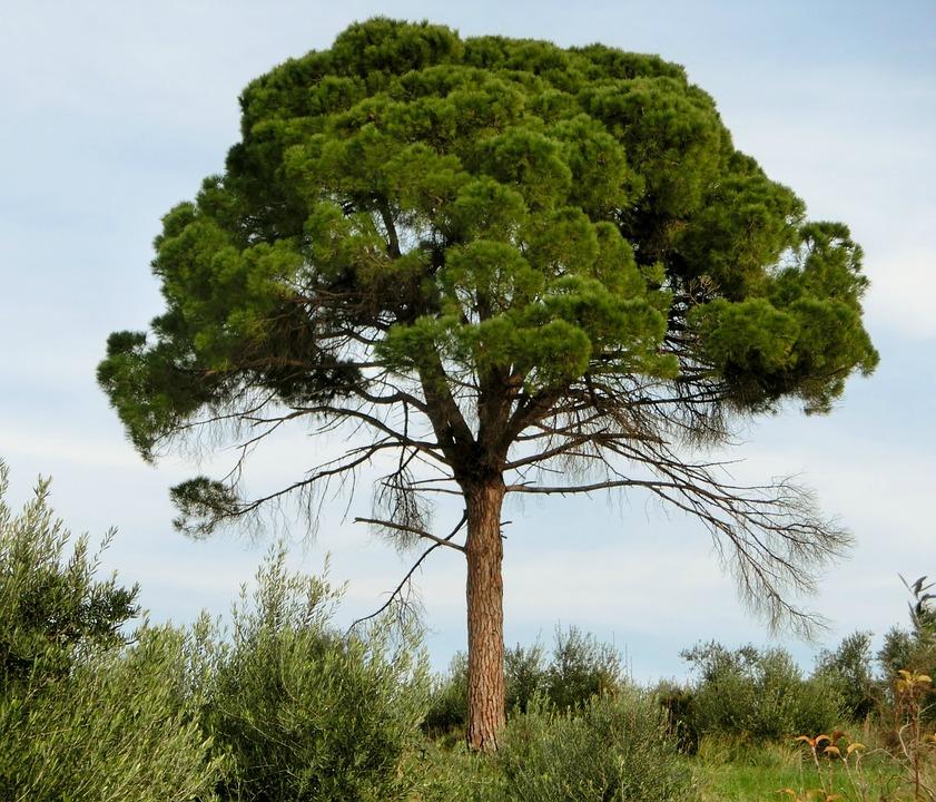 kostenloses foto pinie nadelbaum baum mittelmeer