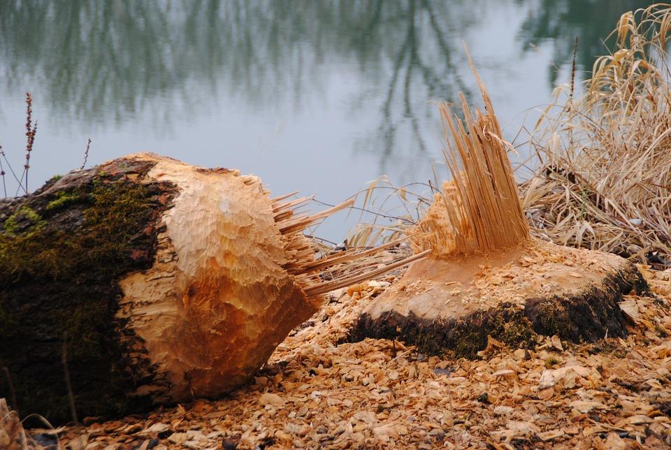 Castori nel Parco Nazionale della Terra del Fuoco: una strana forma di disboscamento
