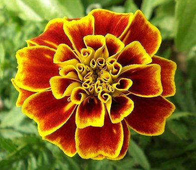 花, マリーゴールド, 野草, 花柄, 植物, 自然, ブルーム, 花弁