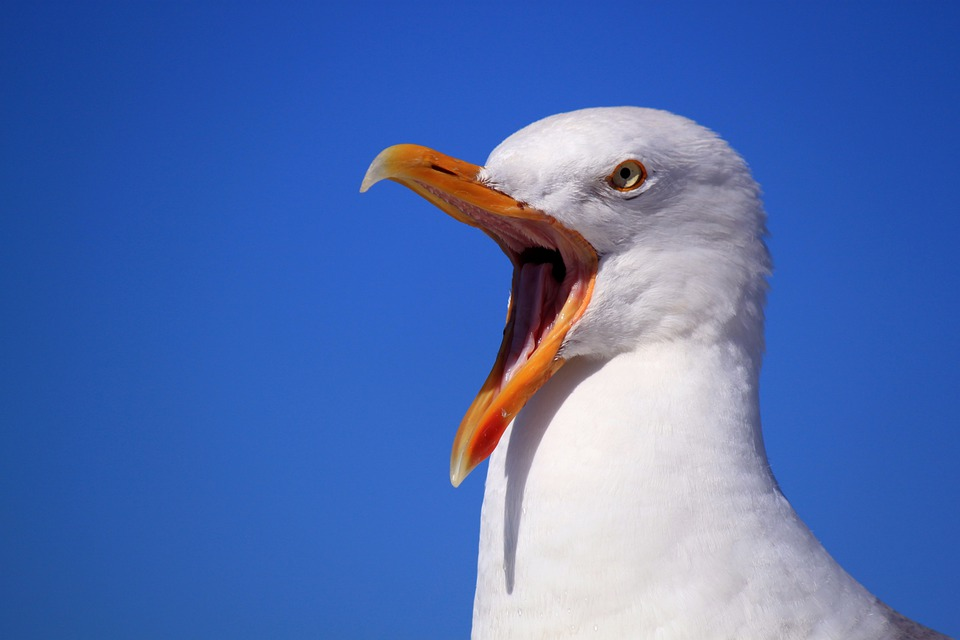 Image result for seagull