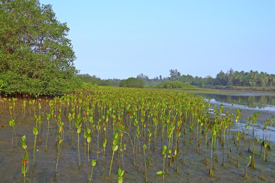 mangrove-seedlings