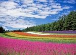 kwiat pole, kwiaty, kolorów