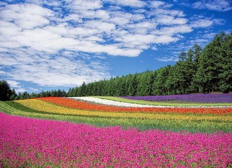 Flower Field, Flowers, Colors, Many
