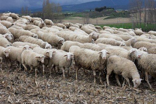 Moutons images pixabay t l chargez des images gratuites - Photos de moutons gratuites ...