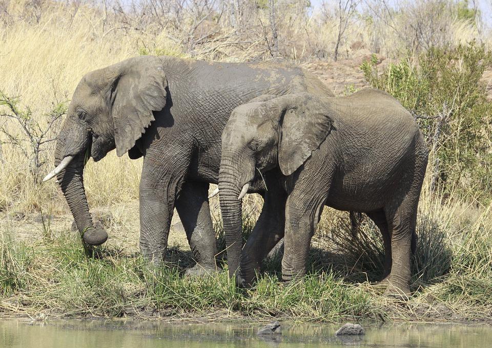 アフリカ象 ピラネスバーグ国立...