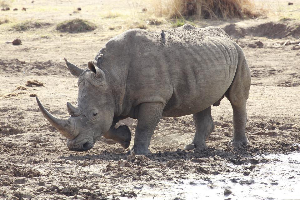 Rinoceronte Bianco - Foto gratis su Pixabay
