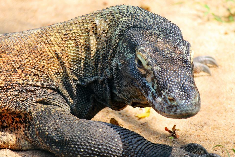 Free Photo Comodo Dragon Lizard Reptile  Image On