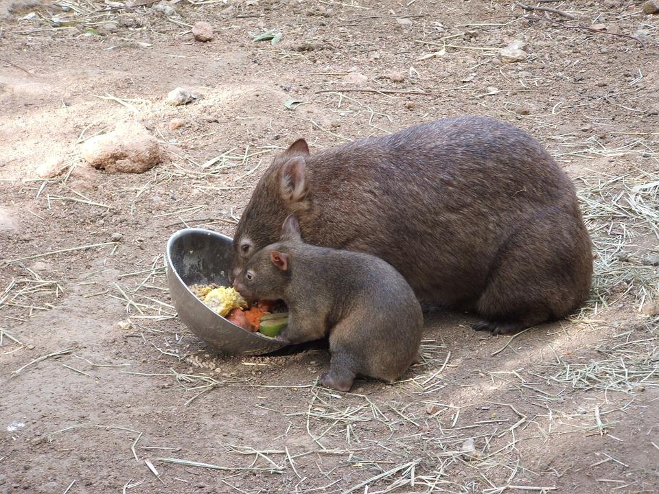 wombat dansk