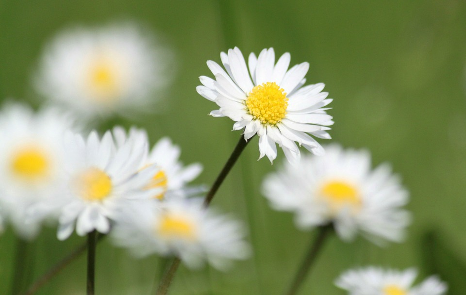 Daisy Flowers Nature Free Photo On Pixabay