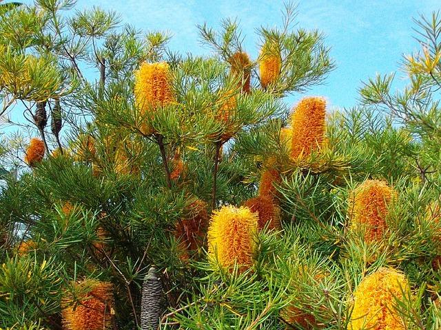 free photo  flowers  native flora  banksia - free image on pixabay