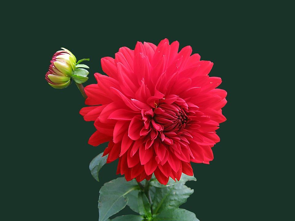 photo gratuite: dahlia, rouge, fleur, isolé - image gratuite sur