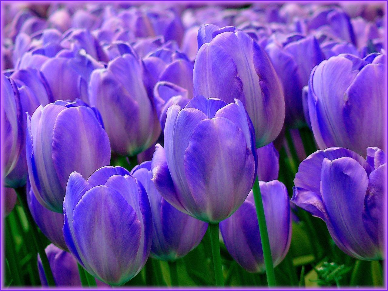 синий тюльпаны фото смотреть новые лоты запросу