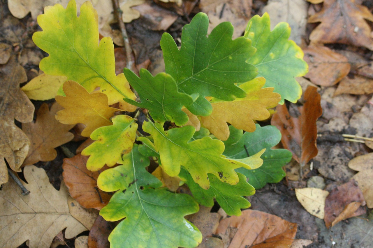 маринования длится фото с дубовыми листьями растягивает