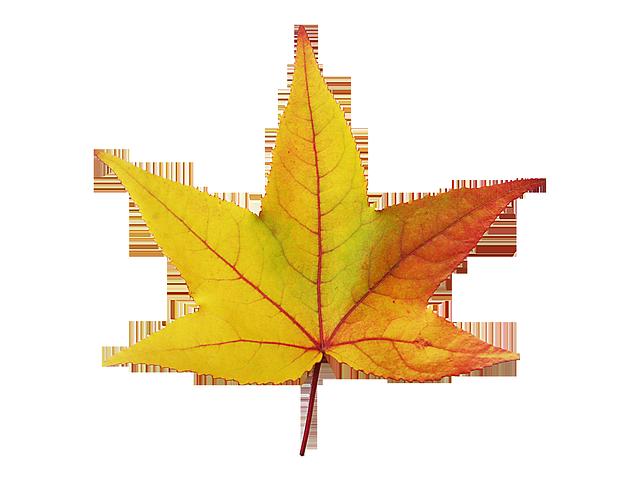 Arce hojas emergen el imagen gratis en pixabay - Hojas de otono para decorar ...