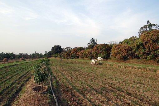 Ox-Plough, Ox Plough, Farmer, Tilling