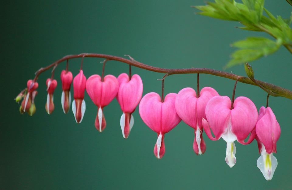 Bleeding Heart, Herzerlstock, Blossom, Bloom, Pink