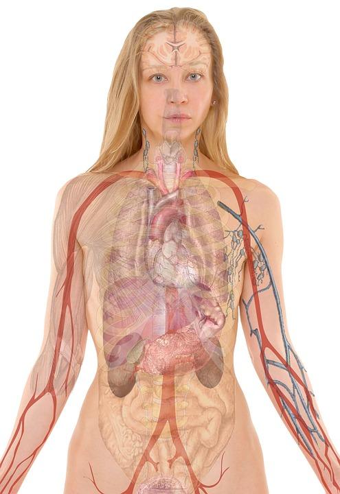 Anatomie, Vrouw, Menselijk, Lichaam, Huid, Organen