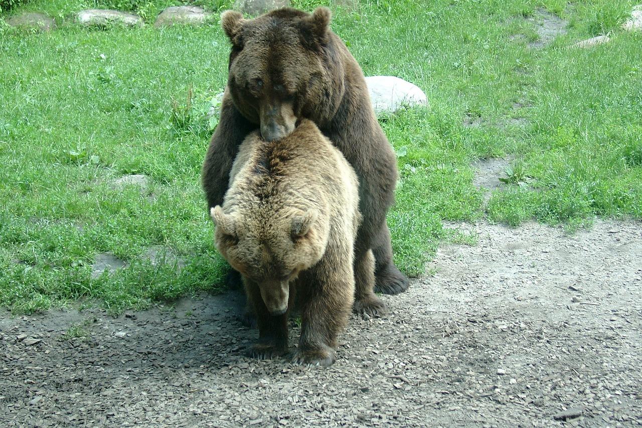 Член медведя