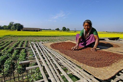Mustard, Farming, Cultivation, Yellow