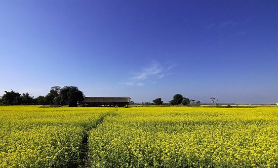 Mustard, Farming, Cultivation, Yellow