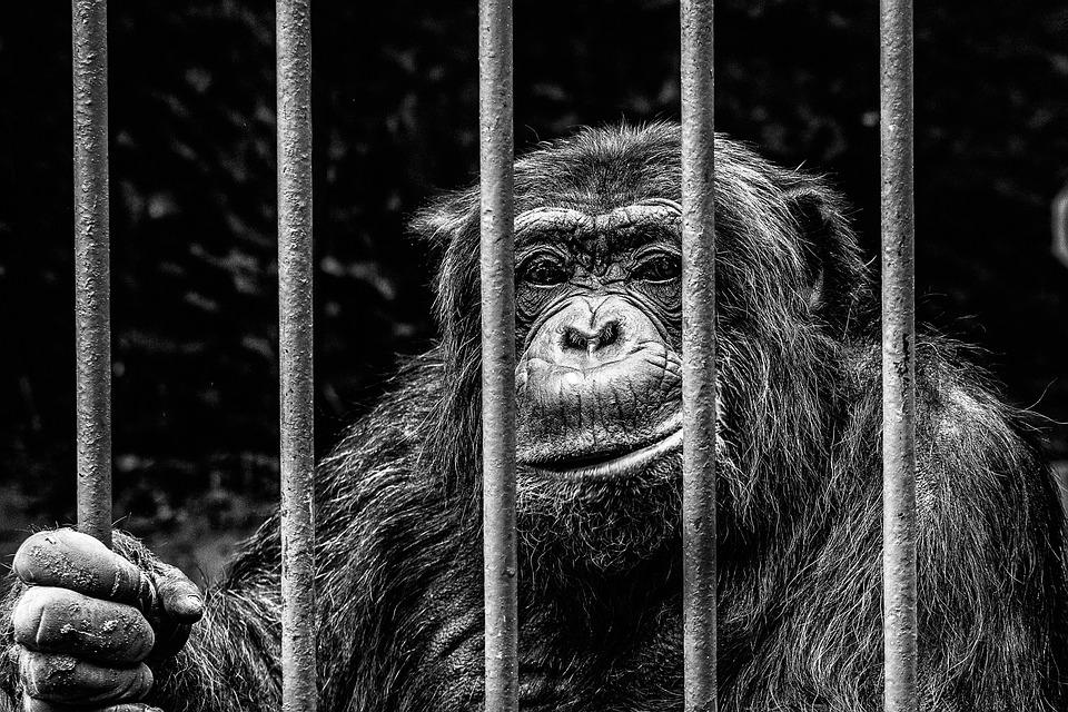 Affe, Gefangenschaft, Zoo, Eingesperrt, Gitter, Käfig