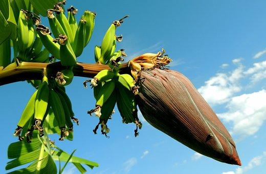 Banana, Banana Tree, Bunch Of Bananas
