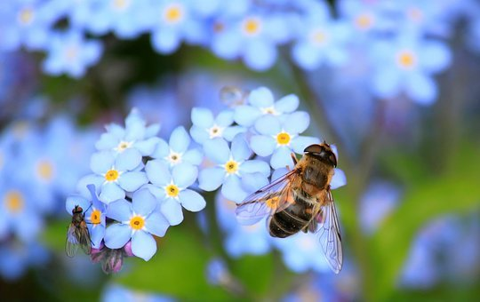 Forget Me Not, bumble bee, garden wildlife