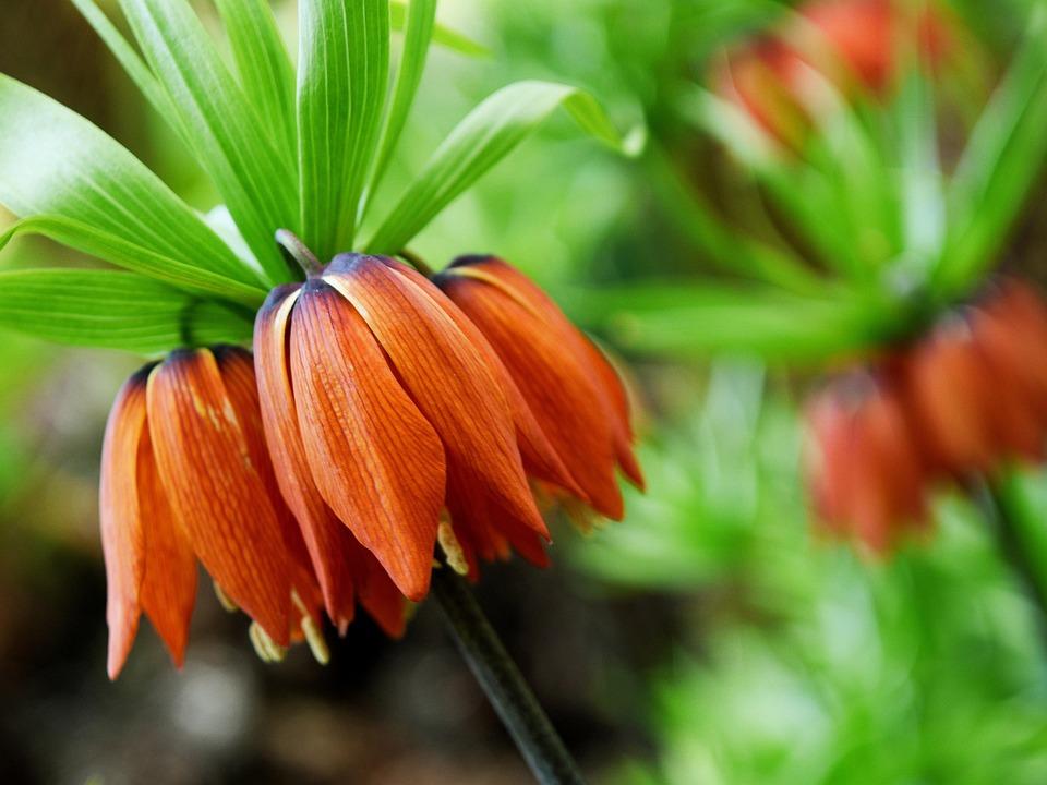 tulipe renversee