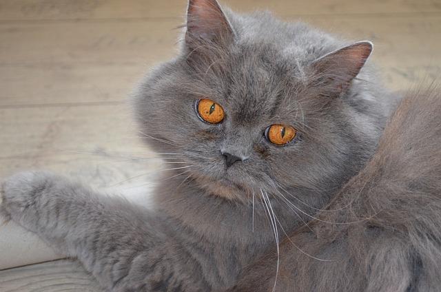 British highlander cat