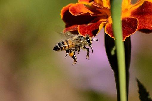 Bee, Sting, Honingbij, Vleugels, Honing