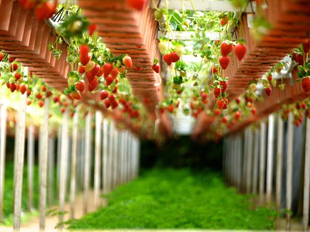 Strawberry, Farms, Gardens, Gardening