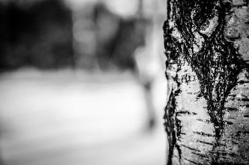 Birch Tree, Bark, Tree, Trunk