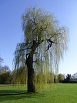 weeping willow, pasture, tree