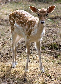 Young Fallow Deer, Kitz, Fallow Deer