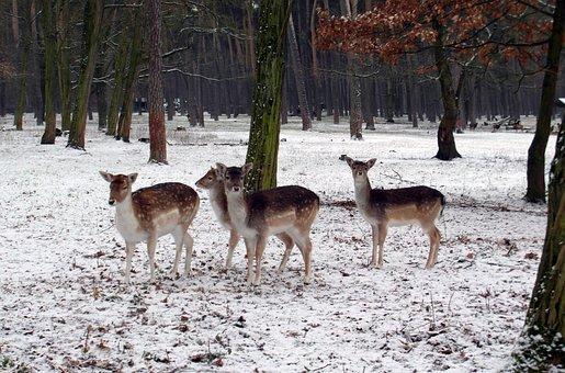Damhirschgruppe, Vinter, Damwild