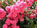 pink, flowers