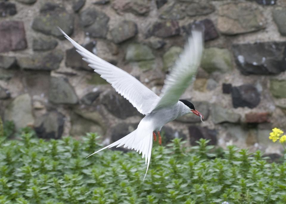 鳥, 羽ばたき, 翼, 飛行, ワーム, 動物, ファーン諸島, イングランド, イギリス